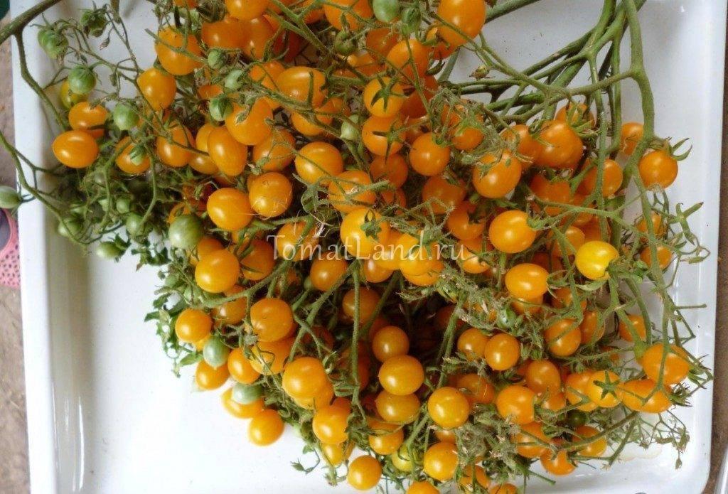 Томаты черри – 15 лучших сортов для выращивания в теплице с описанием и фото каждого