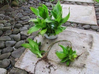 Золотой ус: выращивание в домашних условиях, особенности ухода, размножение, фото - sadovnikam.ru