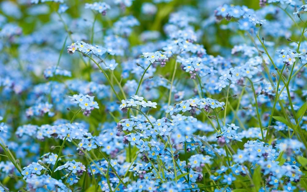 Цветок незабудка – как выглядит, где растет, легенда о цветке, какие есть виды?