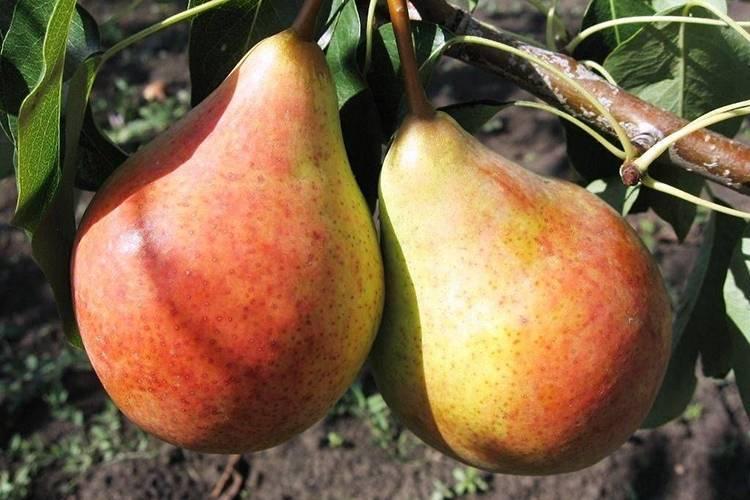 """Груша """"ильинка"""": описание сорта и фото плодов selo.guru — интернет портал о сельском хозяйстве"""