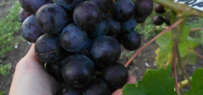 Виноград рошфор – столовый, ранний сорт