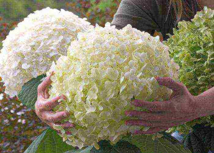 Посадка саженца гортензии весной в открытый грунт: сроки, схемы, уход после