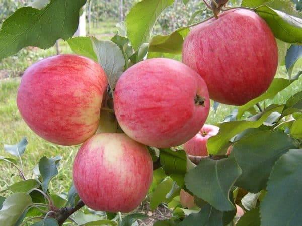 """Яблоня """"сладкая нега"""": описание сорта, фото, отзывы"""