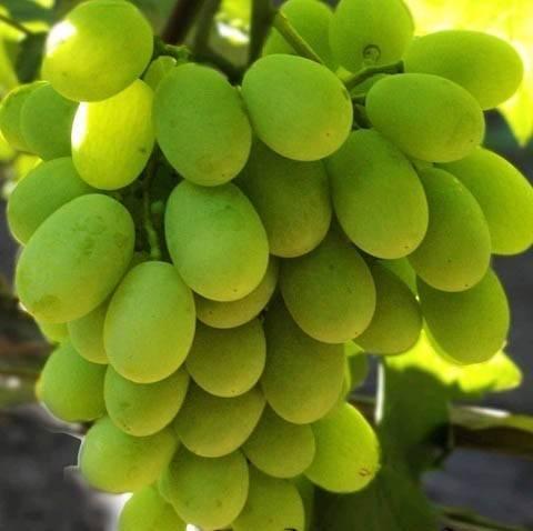 Высокоурожайный и морозостойкий сорт — виноград алекса