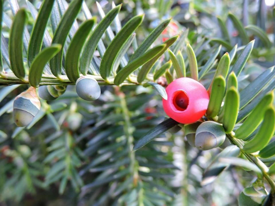 Тис: посадка и уход за растением, описание ягодного и других видов, способы размножения