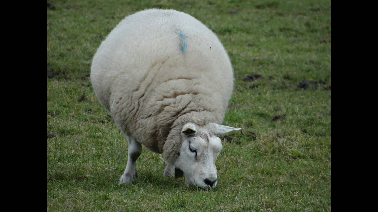 Тексель: порода овец, описание и характеристики