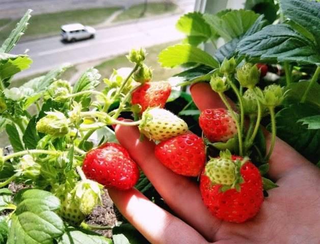 5 сортов клубники, которую можно выращивать в зимнее время на подоконнике