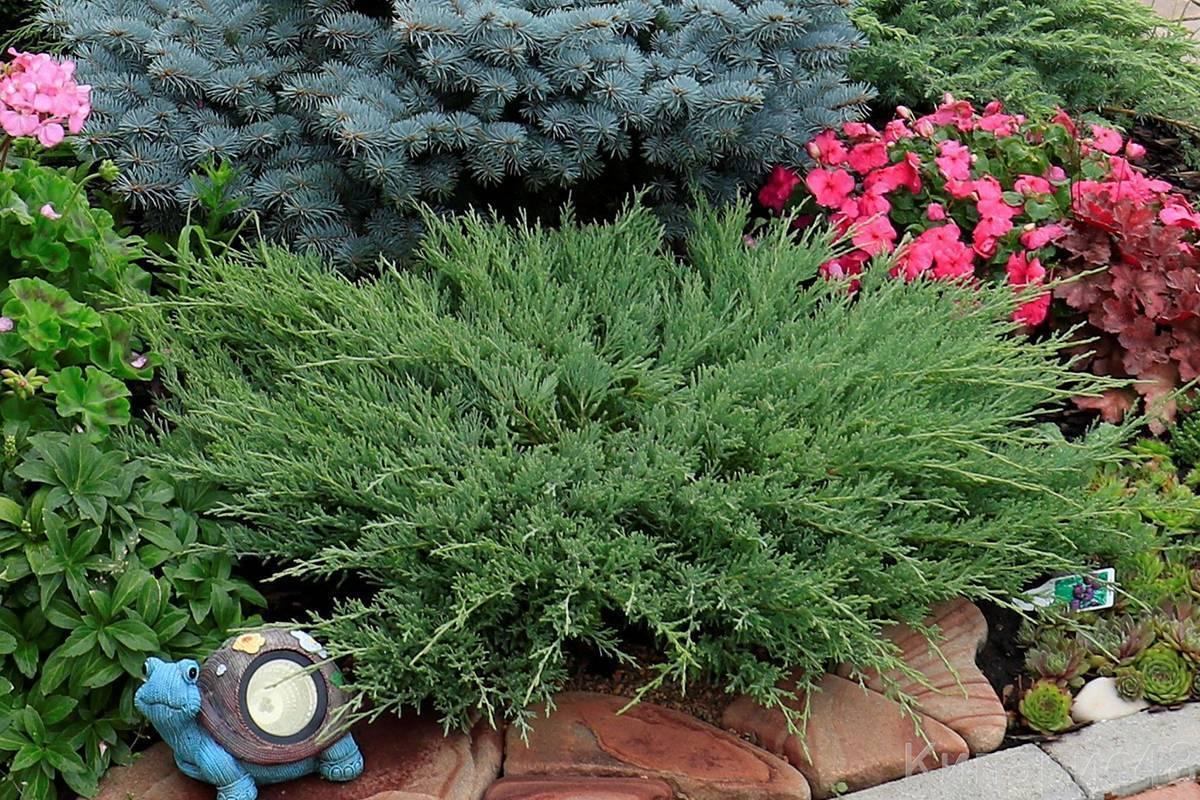 Можжевельник андорра компакт описание фото   мой сад и огород