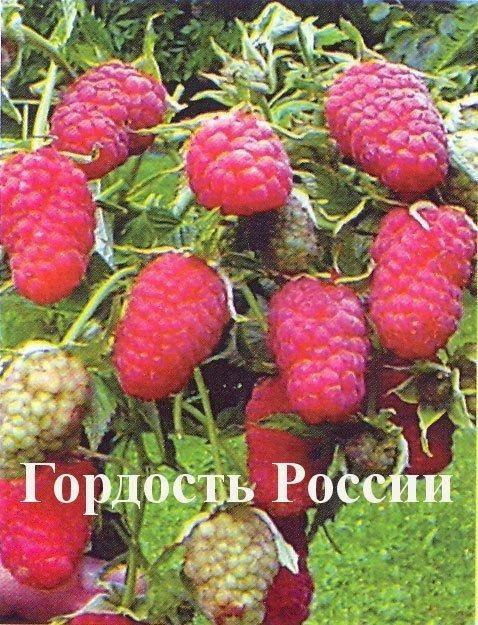 Перец гордость россии — описание и характеристика сорта