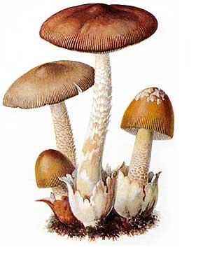 Гриб поплавок оранжевый. описание внешнего вида и вкусовых качеств грибов толкачиков. гриб поплавок — фото и описание разновидностей