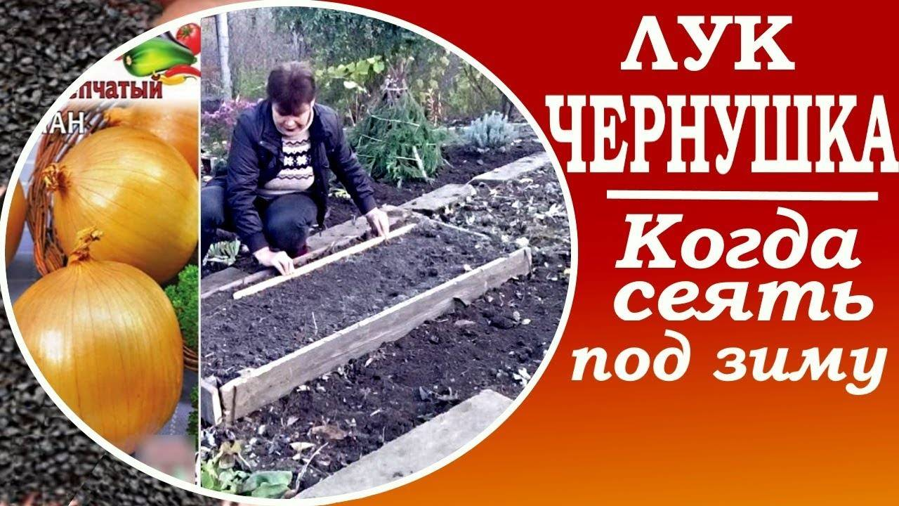 Экономичное и быстрое выращивание лука-чернушки на рассаду или подзимний посев?