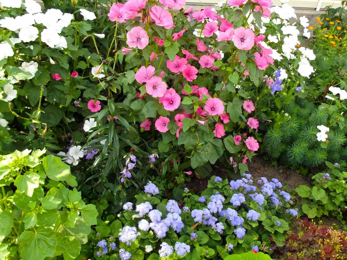 ᐉ цветок лаватера: посадка и уход, фото, выращивание из семян в открытом грунте - roza-zanoza.ru