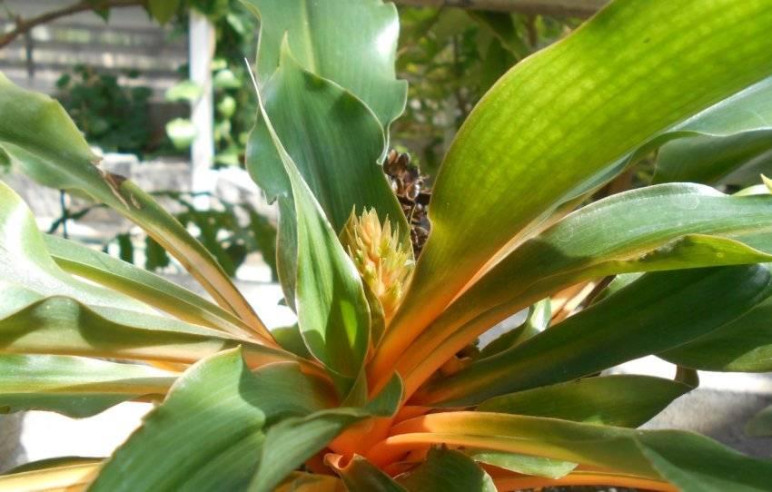 Хлорофитум оранжевый (оранж): общее описание, уход и фото selo.guru — интернет портал о сельском хозяйстве