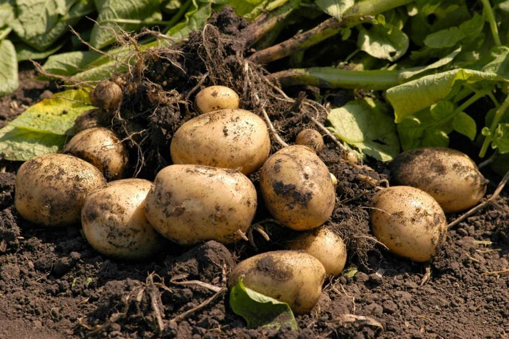 Тип плода у картофеля