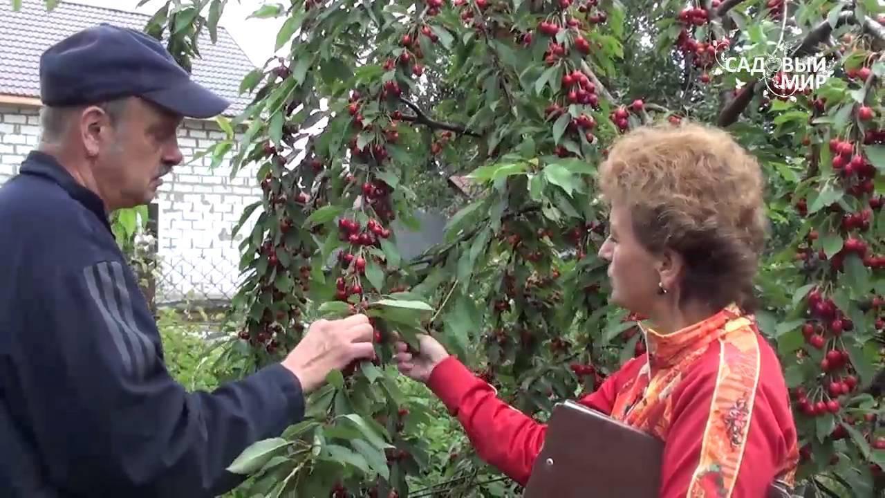 Черешня в сибири: посадка и уход, выбор сорта и правила выращивании