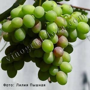 """Виноград """"каталония"""": описание сорта, фото и советы по борьбе с вредителями"""