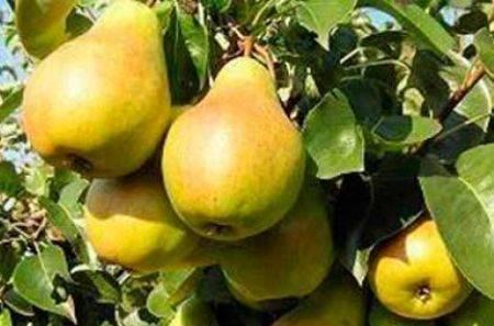 Сорт груши «Нарядная Ефимова» — фото, особенности выращивания