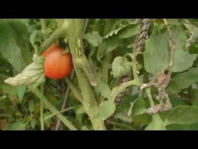 Как вырастить баклажаны: в теплице, открытом грунте, лучшие сорта, правила ухода