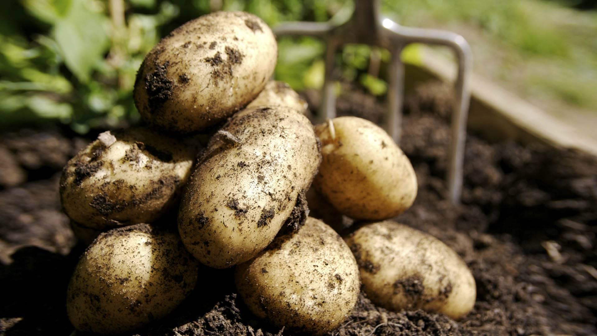 Химический состав картофеля: белки, жиры, углеводы и т.д.