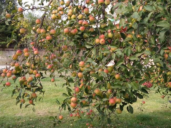 Как правильно ухаживать за яблонями осенью