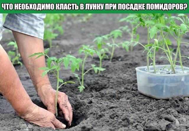 Что класть в лунку при посадке помидоров: какие удобрения добавить