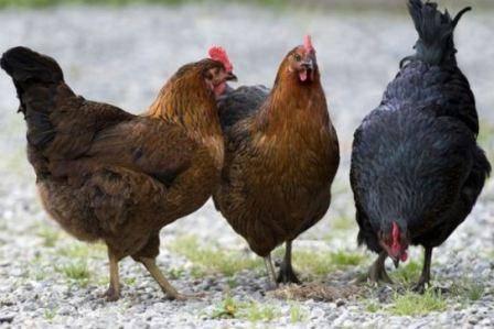 Цыплята клюют друг друга до крови: разбираем причины и методы решения проблемы цыплята клюют друг друга до крови: разбираем причины и методы решения проблемы