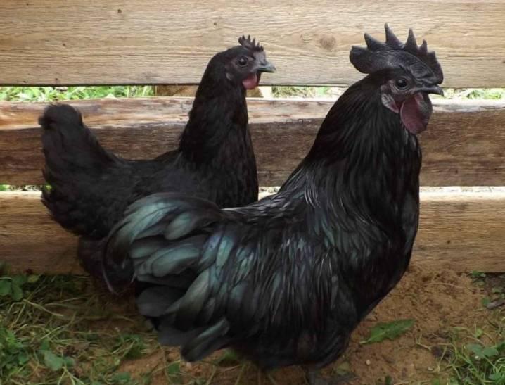 Порода кур ухейилюй: описание, фото