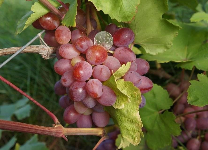 Виноград фрумоаса албэ описание сорта фото отзывы