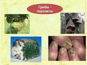 Грибы-паразиты в саду: кто они, что им нужно и как их прогнать из фруктового сада?   огородники