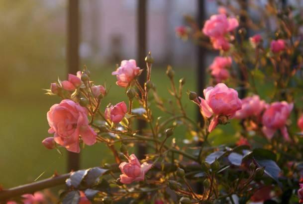 Когда лучше сажать розы - весной или осенью?