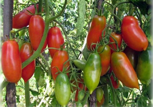 """Томат """"французский гроздевой"""": характеристика и описание сорта, отзывы, фото"""