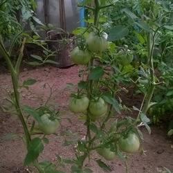 Томат сибирское чудо - описание сорта, характеристика, урожайность, отзывы, фото
