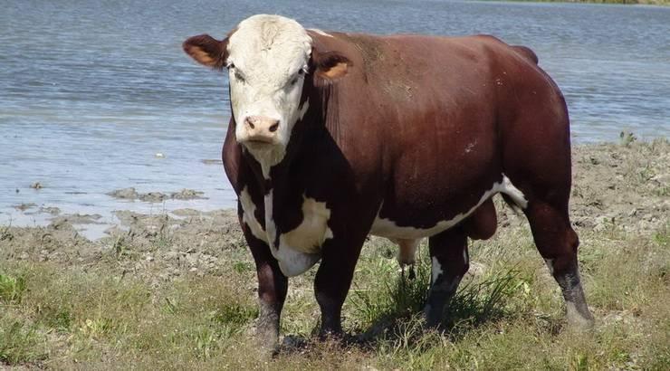 Разведение крс   казахская белоголовая порода коров