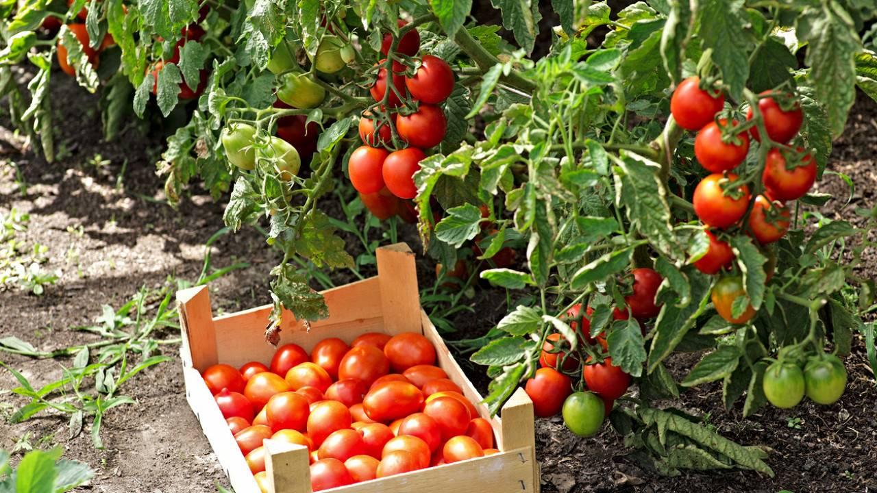 Возможна ли посадка помидор на рассаду без земли и как ее правильно осуществить?
