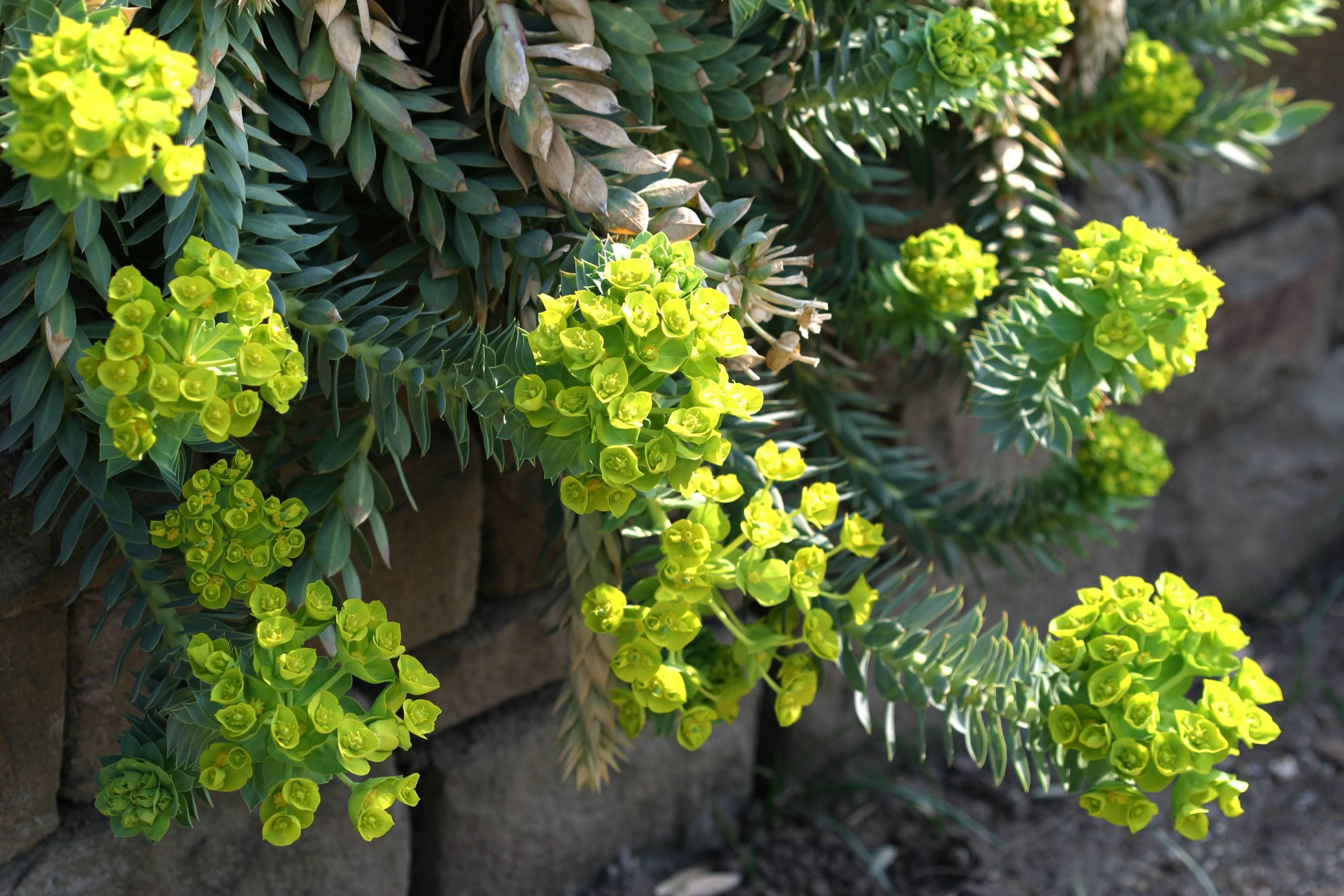 Молочай садовый многолетний посадка и уход, фото