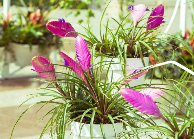 Цветок «Тилландсия»: описание, фото, уход в домашних условиях