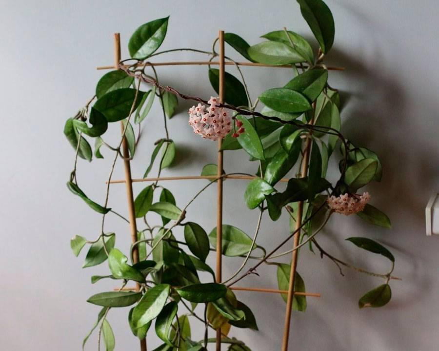 Хойя Ретуза — особенности выращивания этого хрупкого растения