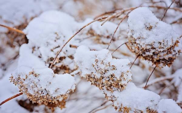 Гортензия: обрезка и подготовка к зиме