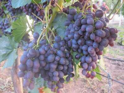 Виноград неретинский ✓ описание сорта фото отзывы