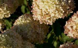 Гортензия метельчатая: посадка, уход, описание сортов
