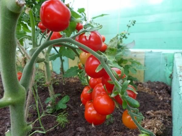 Томаты черри для теплиц: лучшие сорта помидоров, а также самые сладкие и вкусные, урожайные, низкорослые и предназначенные для выращивания под поликарбонатом