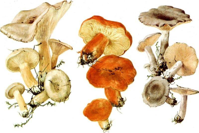Съедобность грибов млечников и их описание (+29 фото)