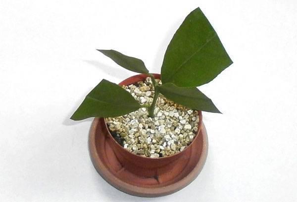 Размножения лимонного дерева черенками в домашних условиях