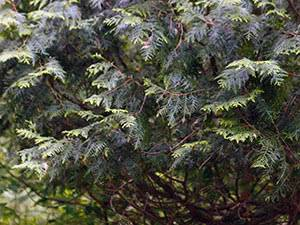 Туя западная тедди: фото и описание, посадка и уход в открытом грунте, в ландшафтном дизайне, размножение