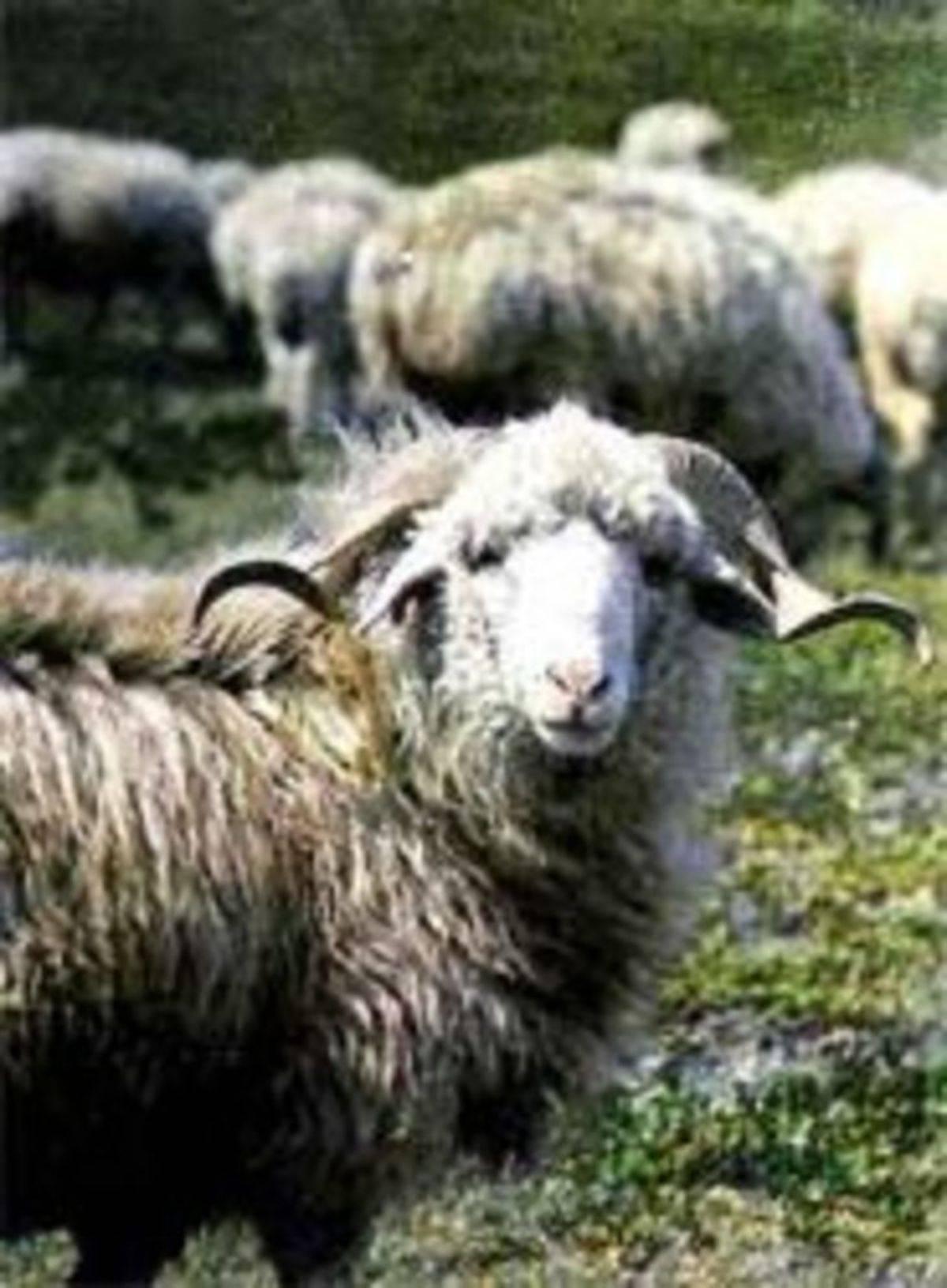 Описание и содержание алтайской породы овец