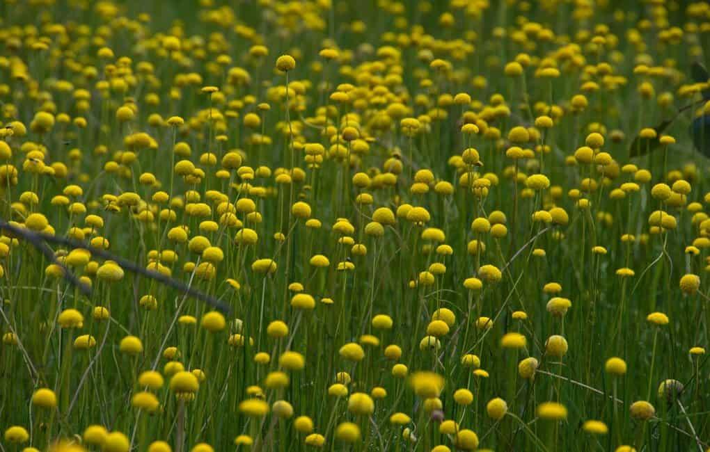 Неувядающая прелестница — цветок «гомфрена шаровидная»: выращивание из семян и фото