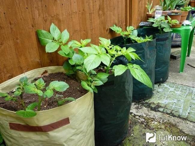 Как вырастить картофель в бочке: особенности выращивания, технология и пошаговая инструкция