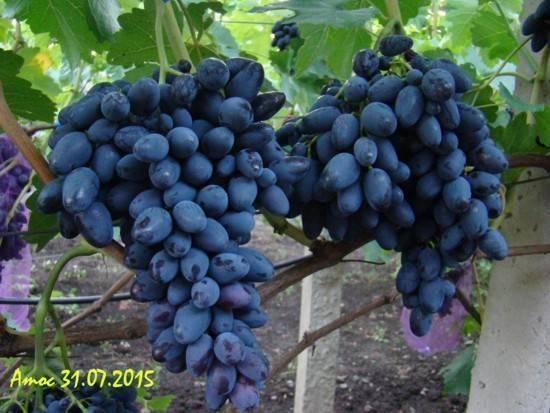Виноград аттика: отзывы, фото, описание сорта, выращивание, посадка и уход, урожайность