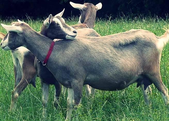 Особенности тоггенбургской породы коз