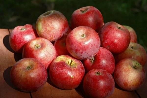 Описание и характеристики яблони сорта подарок графскому, правила посадки и ухода